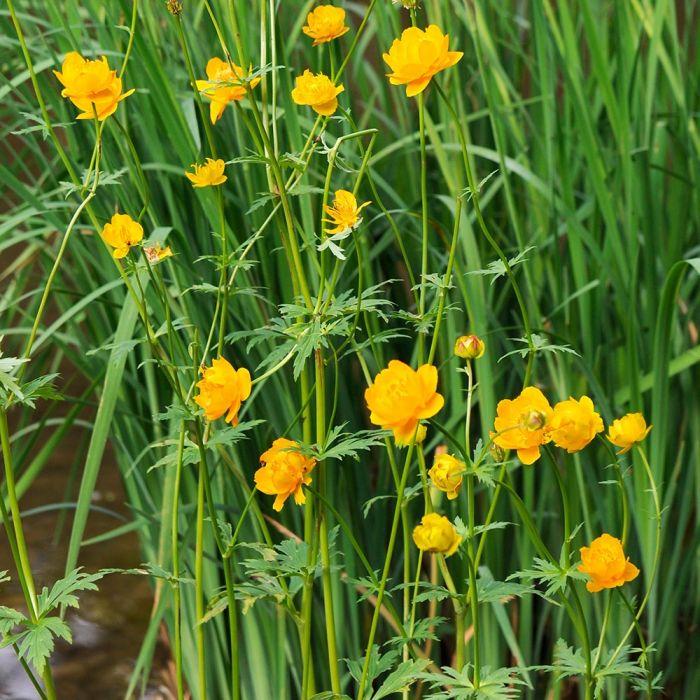 Globeflower 'Golden Queen'