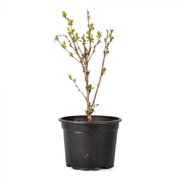 Barberry
