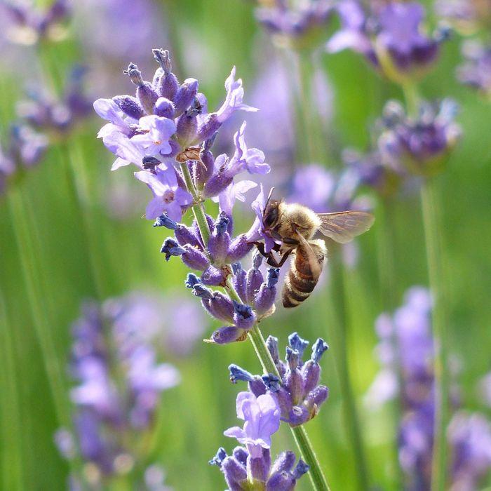 English Lavender 'Munstead' - 8 pack