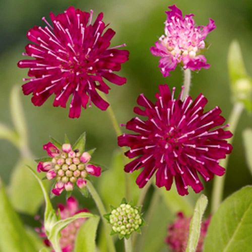 Red Scabious