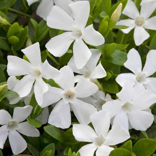 White periwinkle - Pack of 8