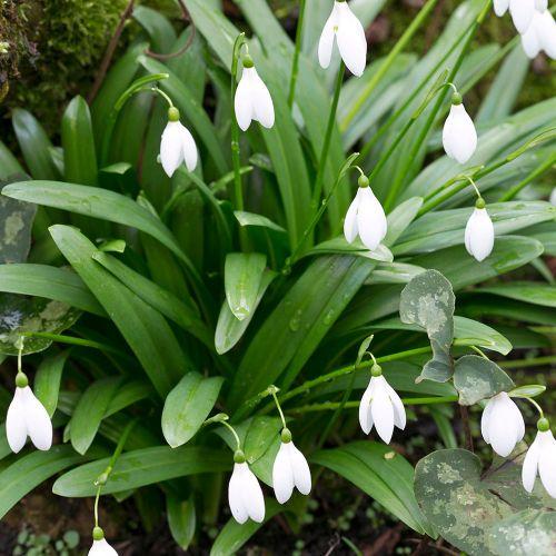 Green Snowdrops - 25 Bulbs