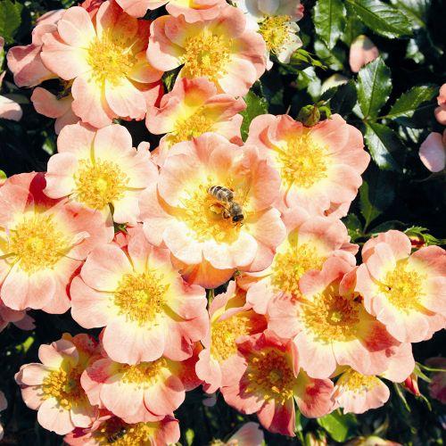 Bee Perfect Rose (Bijenweelde®) Apricot