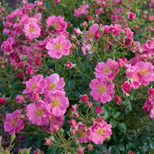 Bee Perfect Rose (Bijenweelde®) Pink