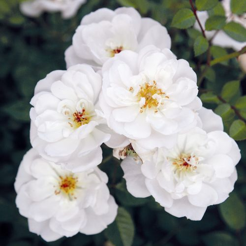 Bee Perfect Rose (Bijenweelde®) White