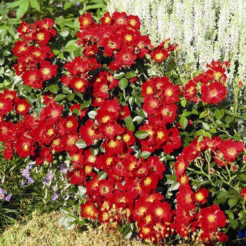 Bee Perfect Rose (Bijenweelde®) Red