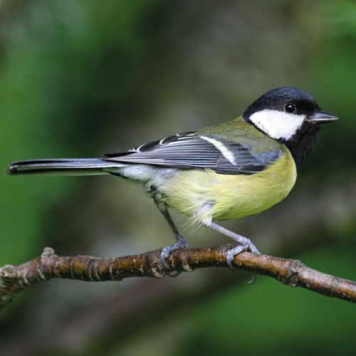 Create Your Own Great Tit Bundle