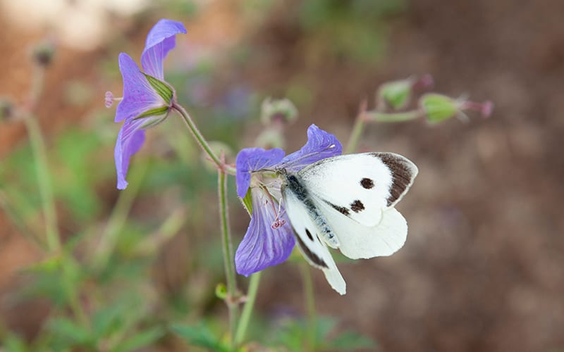 A butterfly on a purple plant