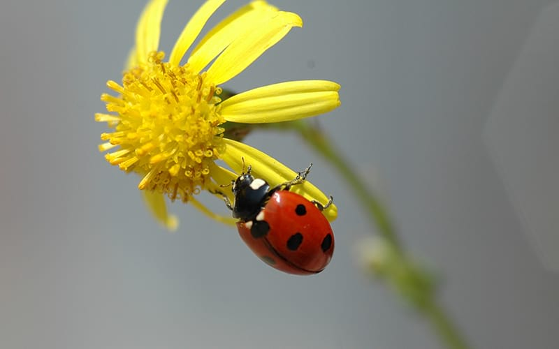 A ladybird hanging on a yellow flower